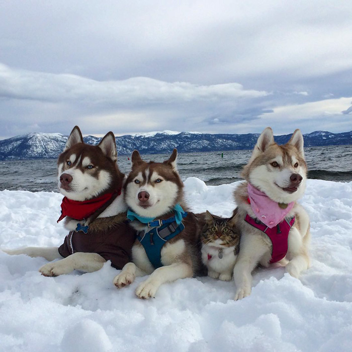 rosie-cat-grows-up-husky-mother-lilo-57