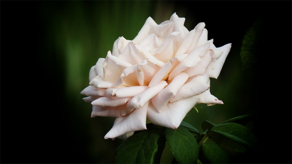 Soft Flesh Rose.jpg