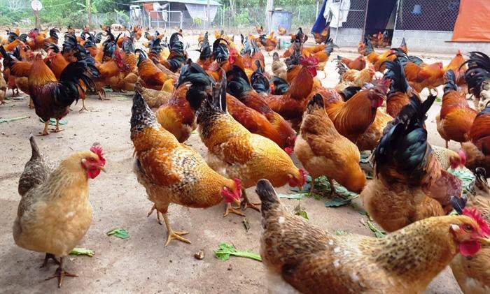 Nguyên nhân bệnh ORT ở gà