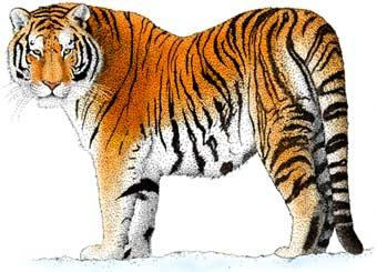 Standing Tiger Clip Art