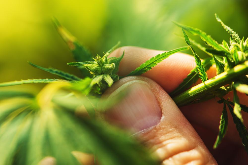 E:\Nikhil\420formemarijuanacardbakersfield\What Is the Reason Behind CBD's Popularity\moMNBMIZ8P.jpg