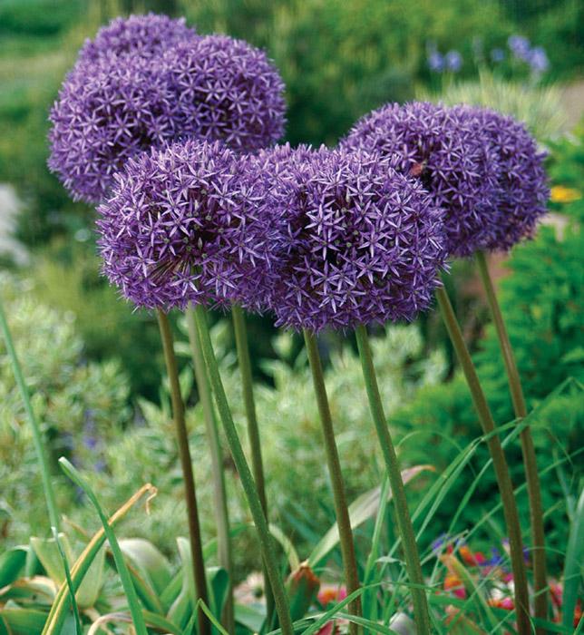 """Allium giganteum """"Globemaster""""."""