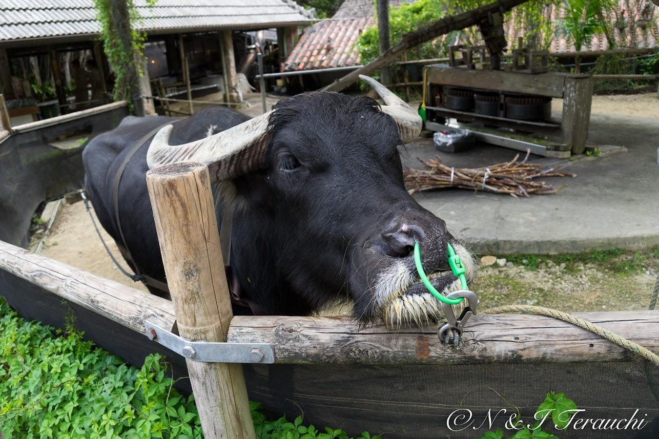 一休みする水牛さん