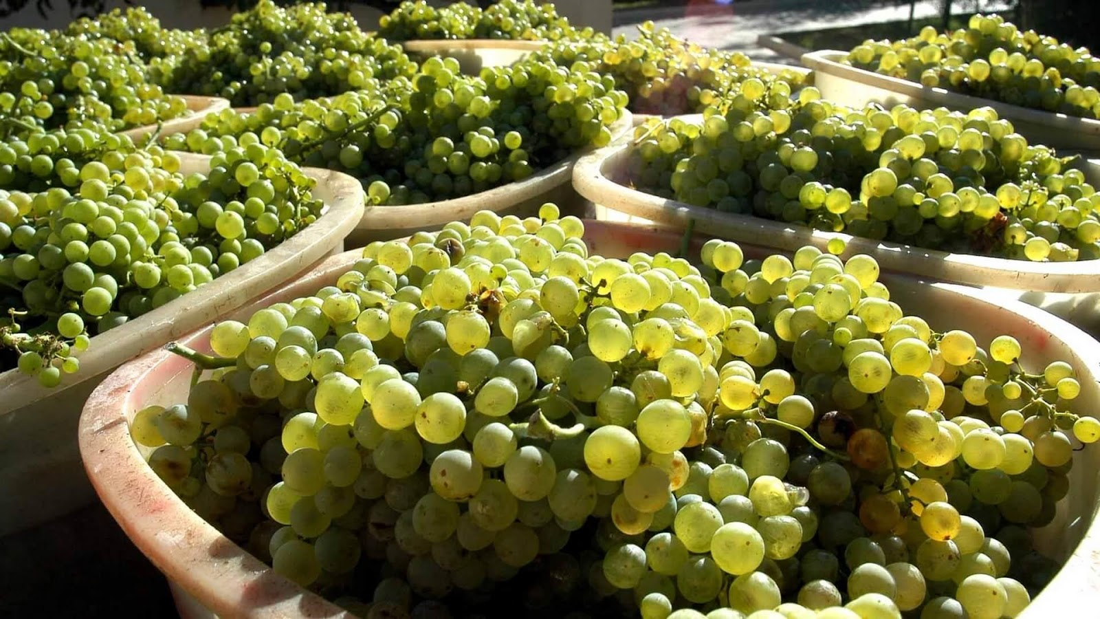https://winetouritalia.com/wp-content/uploads/2016/11/31-Trebbiano-1.jpg