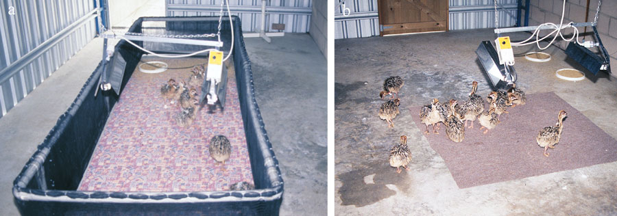 Brooder shed for ostrich chicks allows sufficient room for exercise