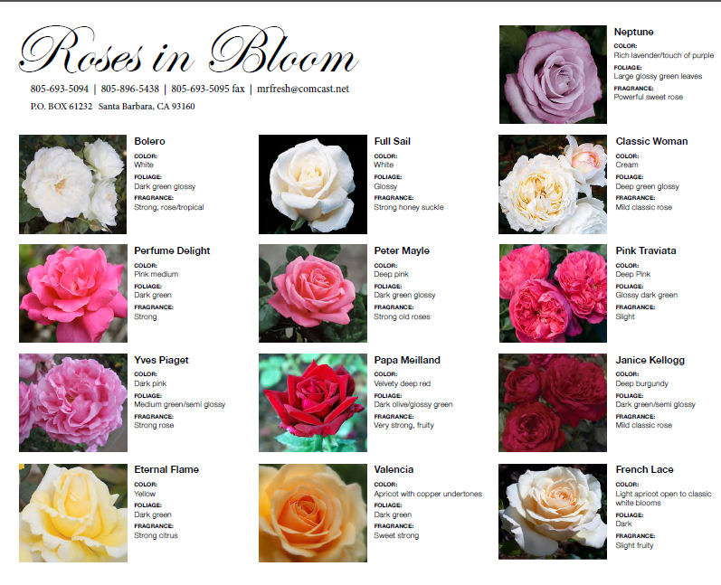 South American Rose