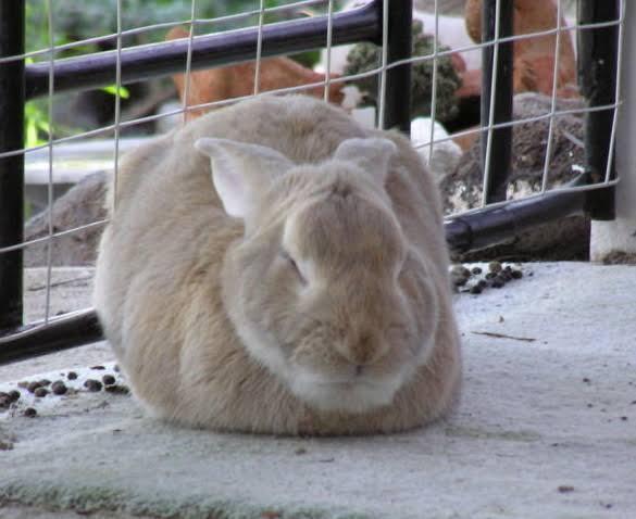 """Image result for brazilian rabbit"""""""