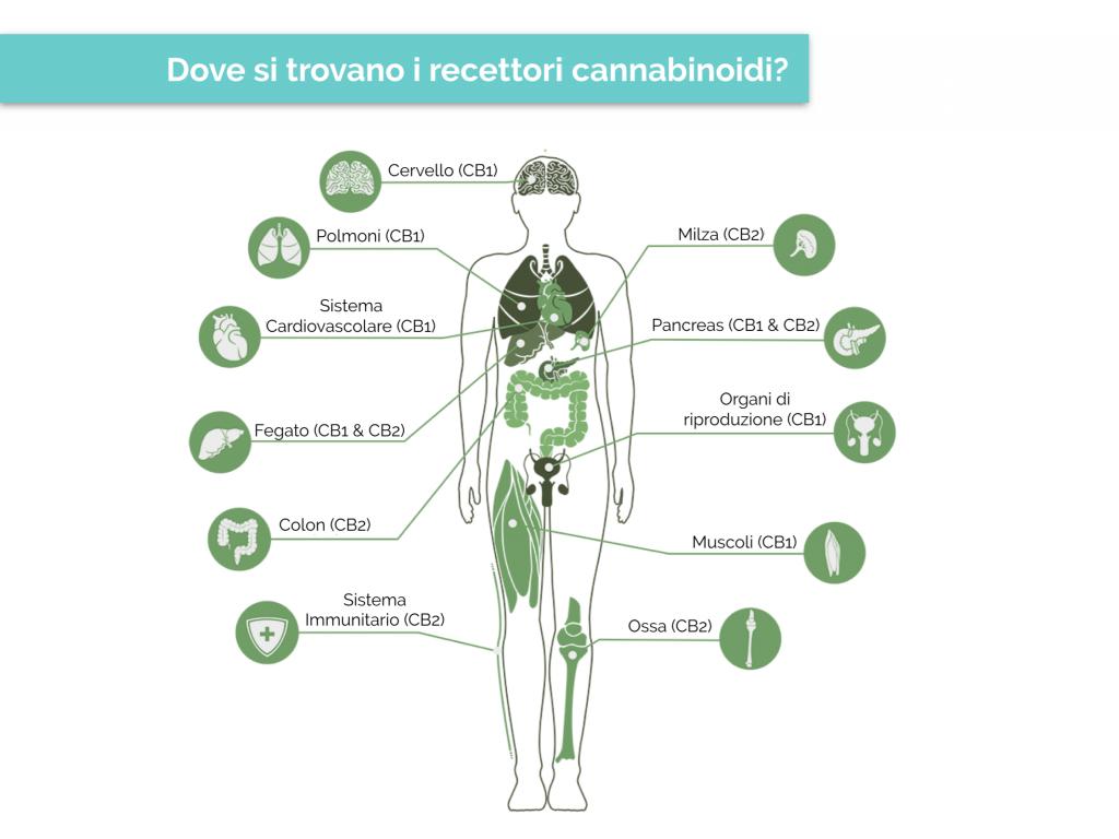 I recettori endocannabinoidi