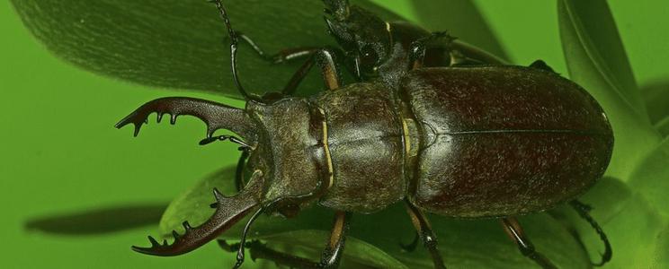الخنافس حشرة مفيدة للنبات