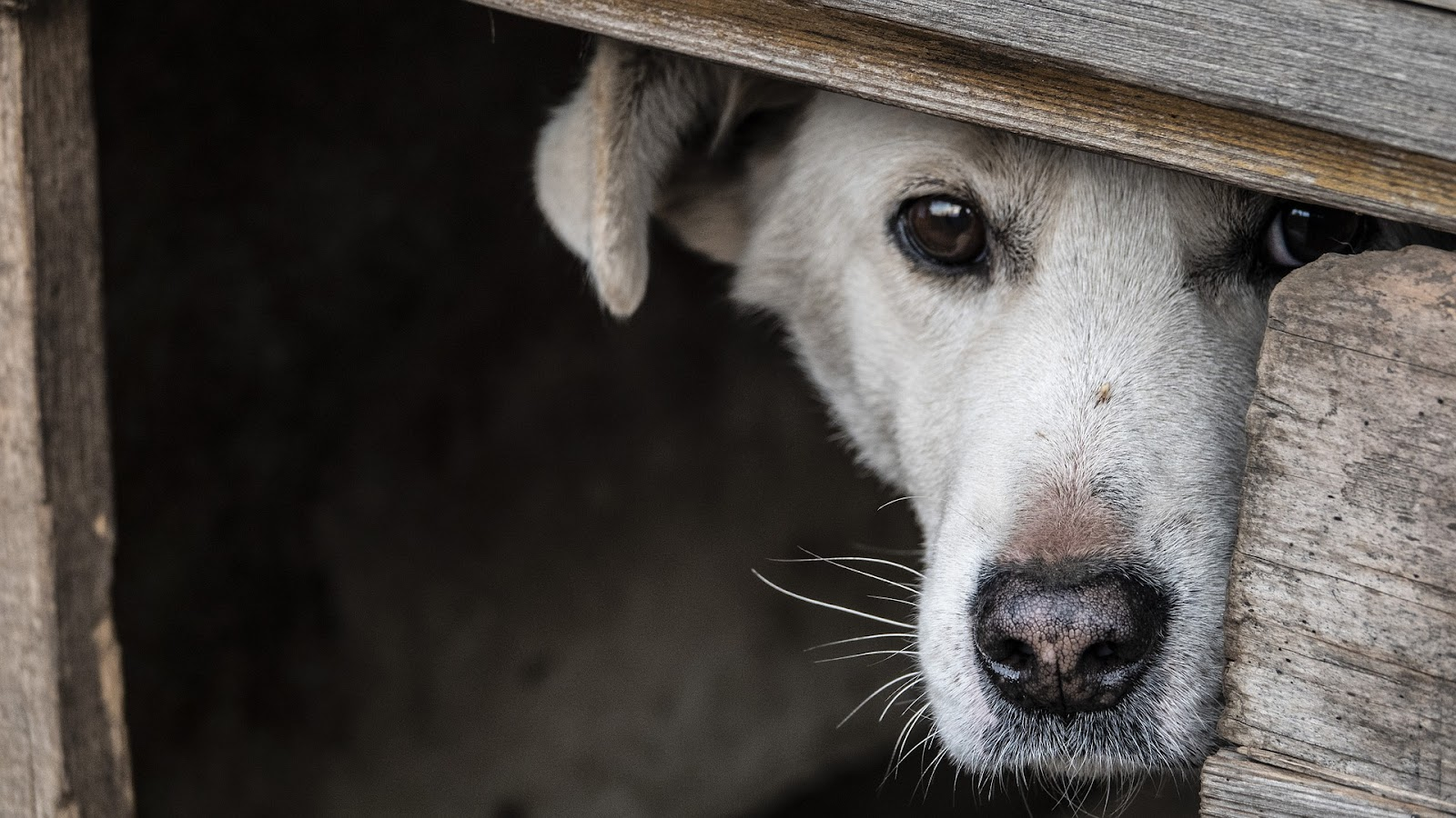 scared white dog hiding behind wooden fence planks