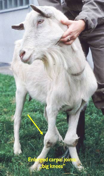 Adult Saanen goat with clinical arthritis. The arrow points to the inflamed and turgid carpal joints.