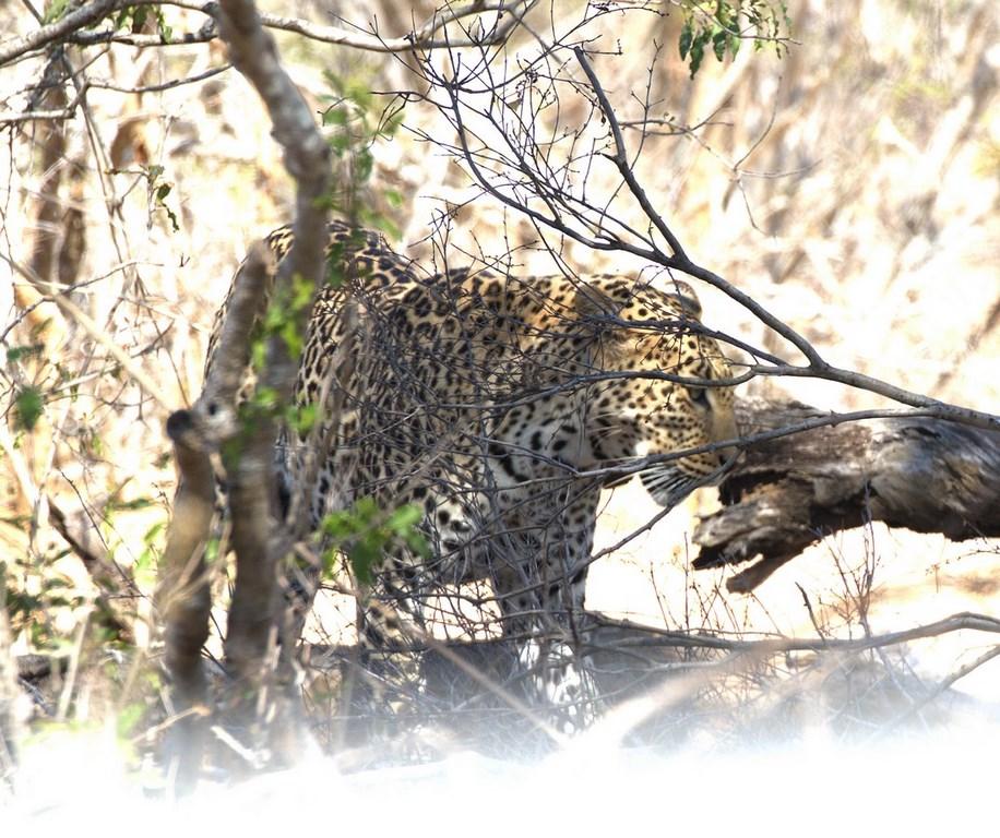leopard (Copy) (Copy).jpg