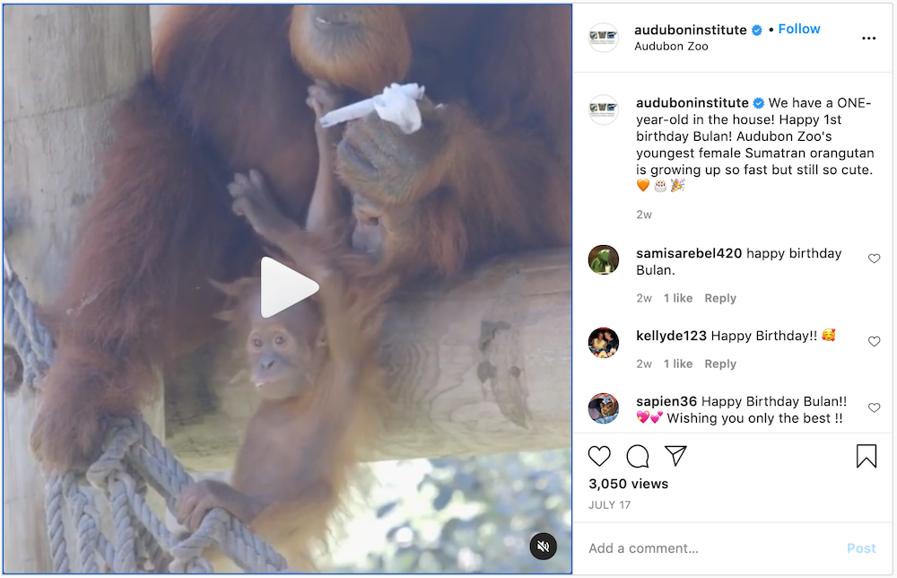 A video from the Audubon Zoo about orangutans