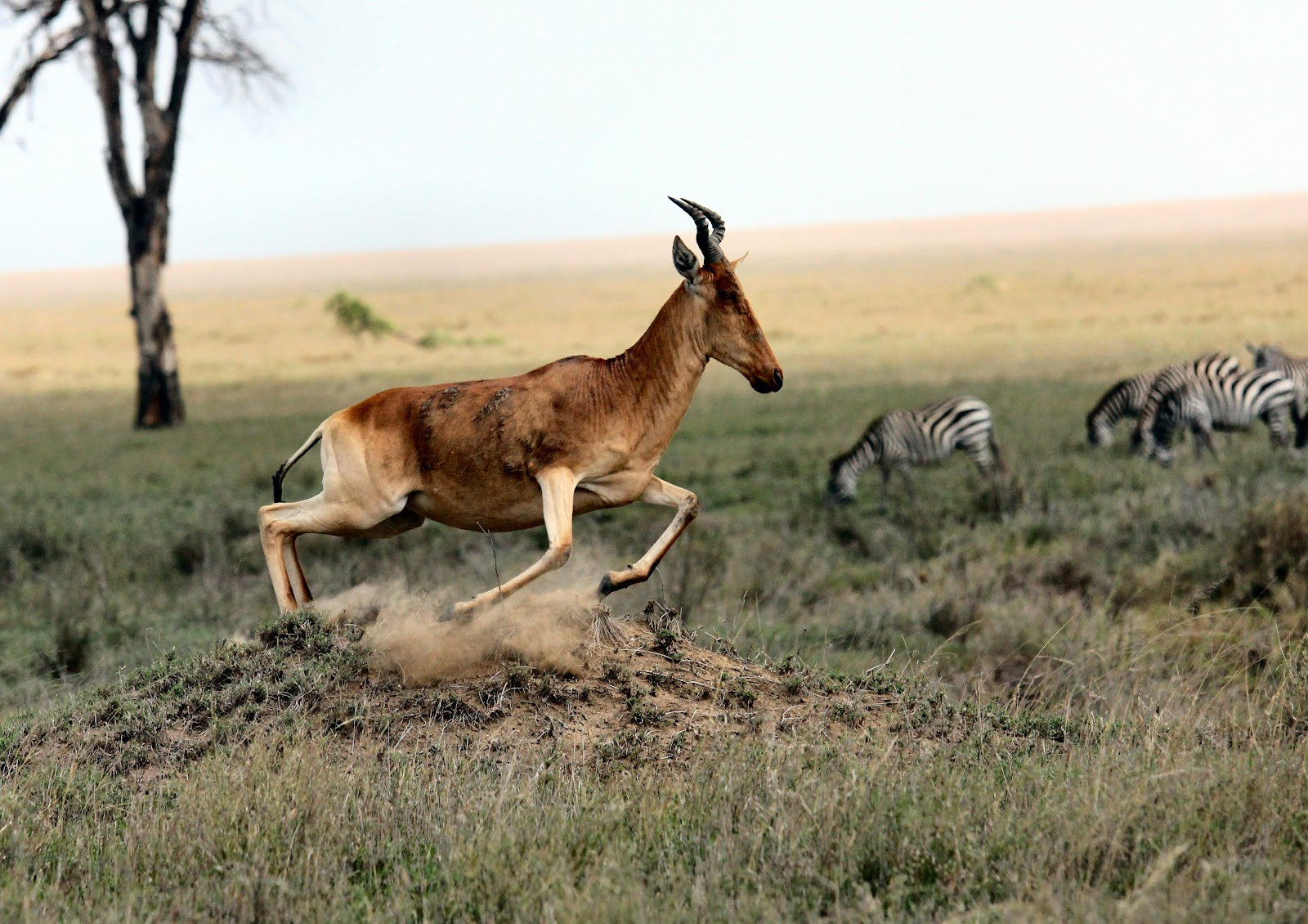 Gazelle running through the savannah with grazing zebra in the background, slightly blurred