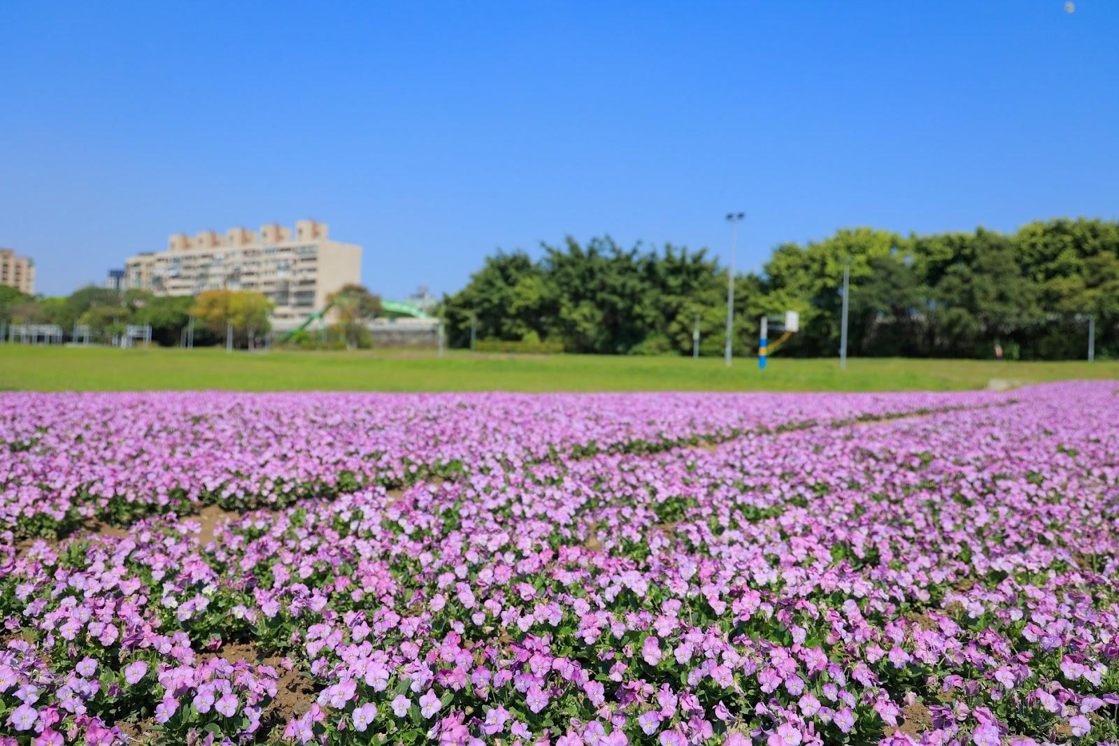 古亭河濱公園賞花 羽葉薰衣草