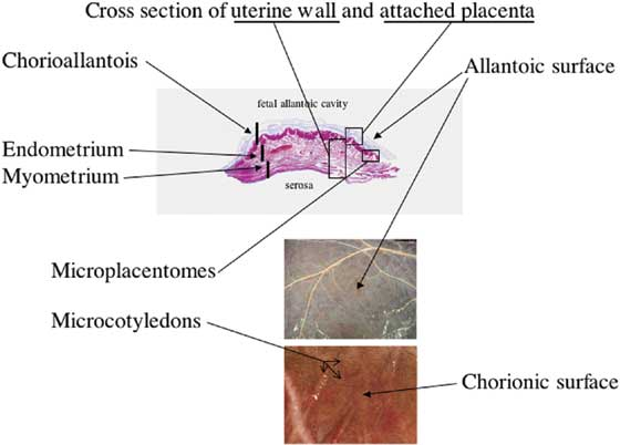 Appreciation for the gross appearance of the two sides of the chorioallantois (maternal chorionic and fetal allantoic) is best gained by understanding the histology.