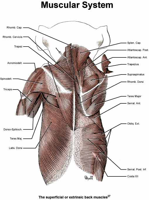 Illustration of the superficial back muscles of the rhesus monkey [27].