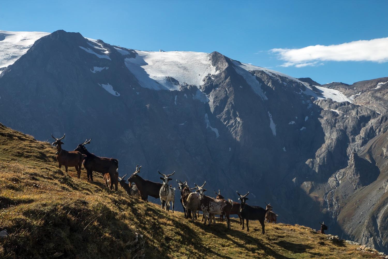 Cabritas en la meseta de Emparis, glaciar la Girose en los Hautes-Alpes
