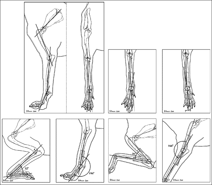 Normal range of motion of the carpus and elbow joint in Labrador Retrievers