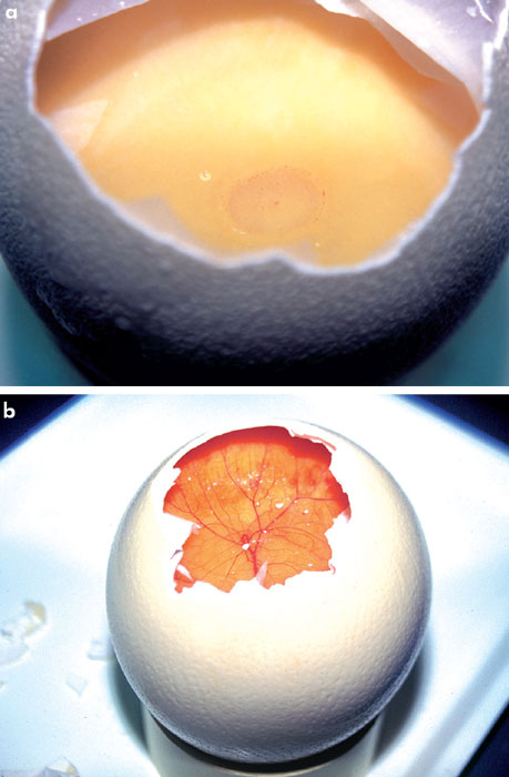 An egg necropsy can identify early embryonic deaths in fertile eggs