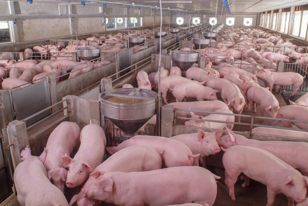 Criação de suínos