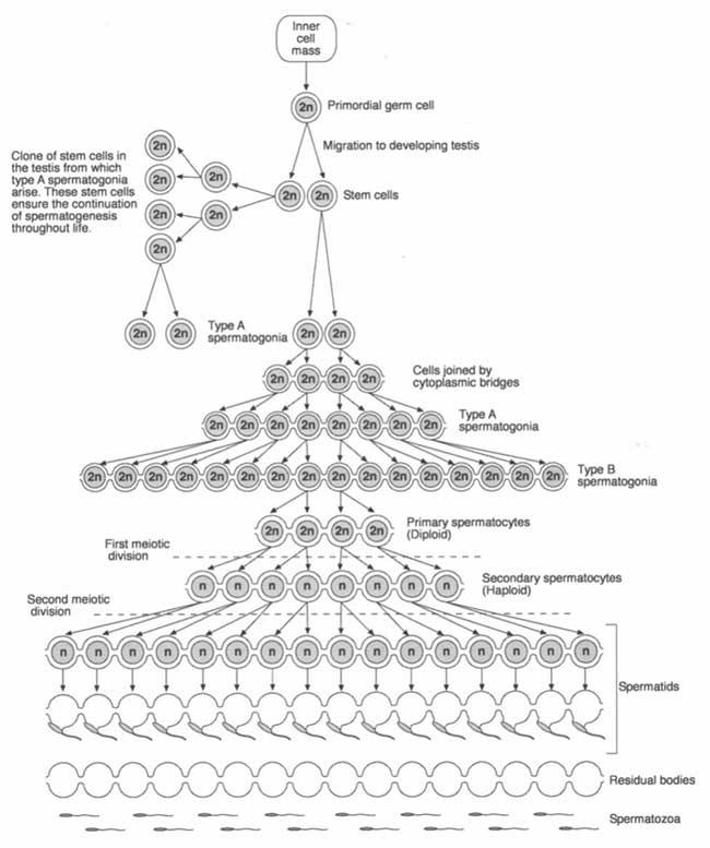 Schematic representation of spermatogenesis.