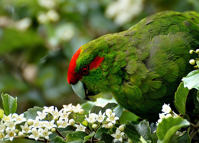 NZ Kakariki. Photo @ Creative Commons.