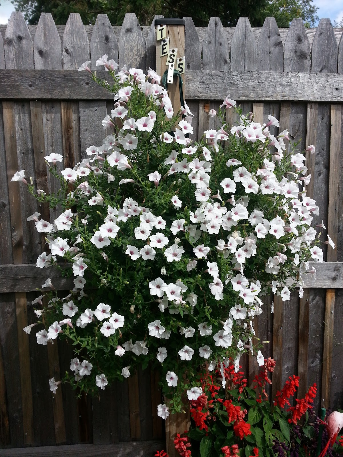 supertunia vista silverberry in a plant pouch picture