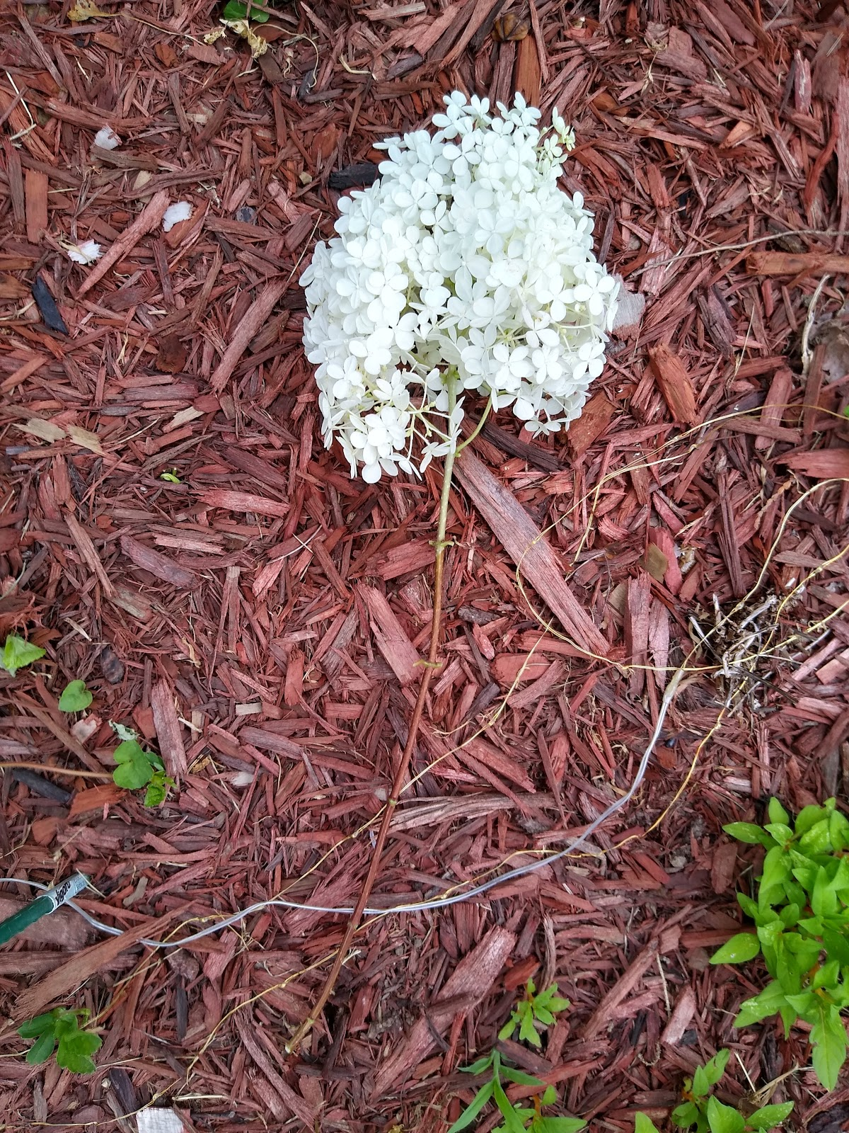 hydrangea with leaves removed picture