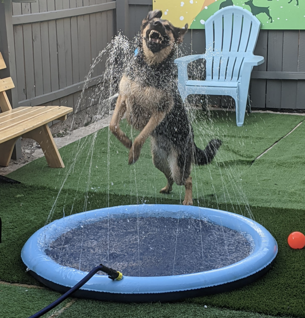A shepherd-mix breed dog enjoys splashing on a blue splash pad as way to engage in outdoor canine enrichment.