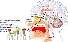 Frontiers | COVID 19-Induced Smell and Taste Impairments: Putative Impact  on Physiology | Physiology