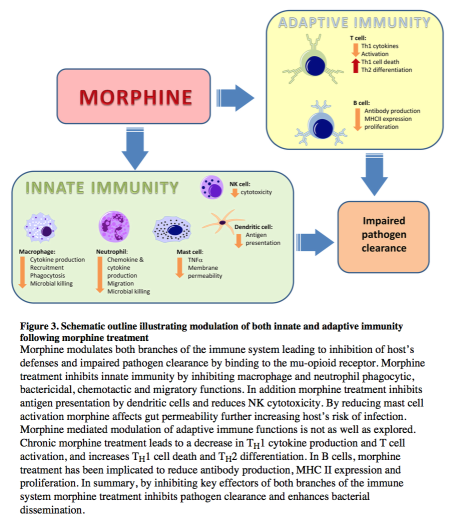 schematic outline showing modulation of innate and adaptive immunity following morphine treatment