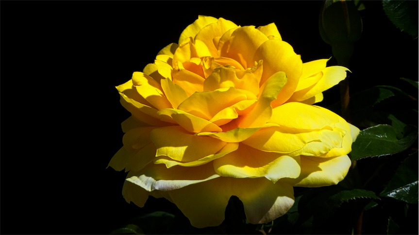 Yellow Rose 3 In.jpg