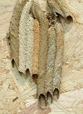 http://upload.wikimedia.org/wikipedia/commons/thumb/7/7b/Organ_Pipe_Wasp_nest.jpg/250px-Organ_Pipe_Wasp_nest.jpg