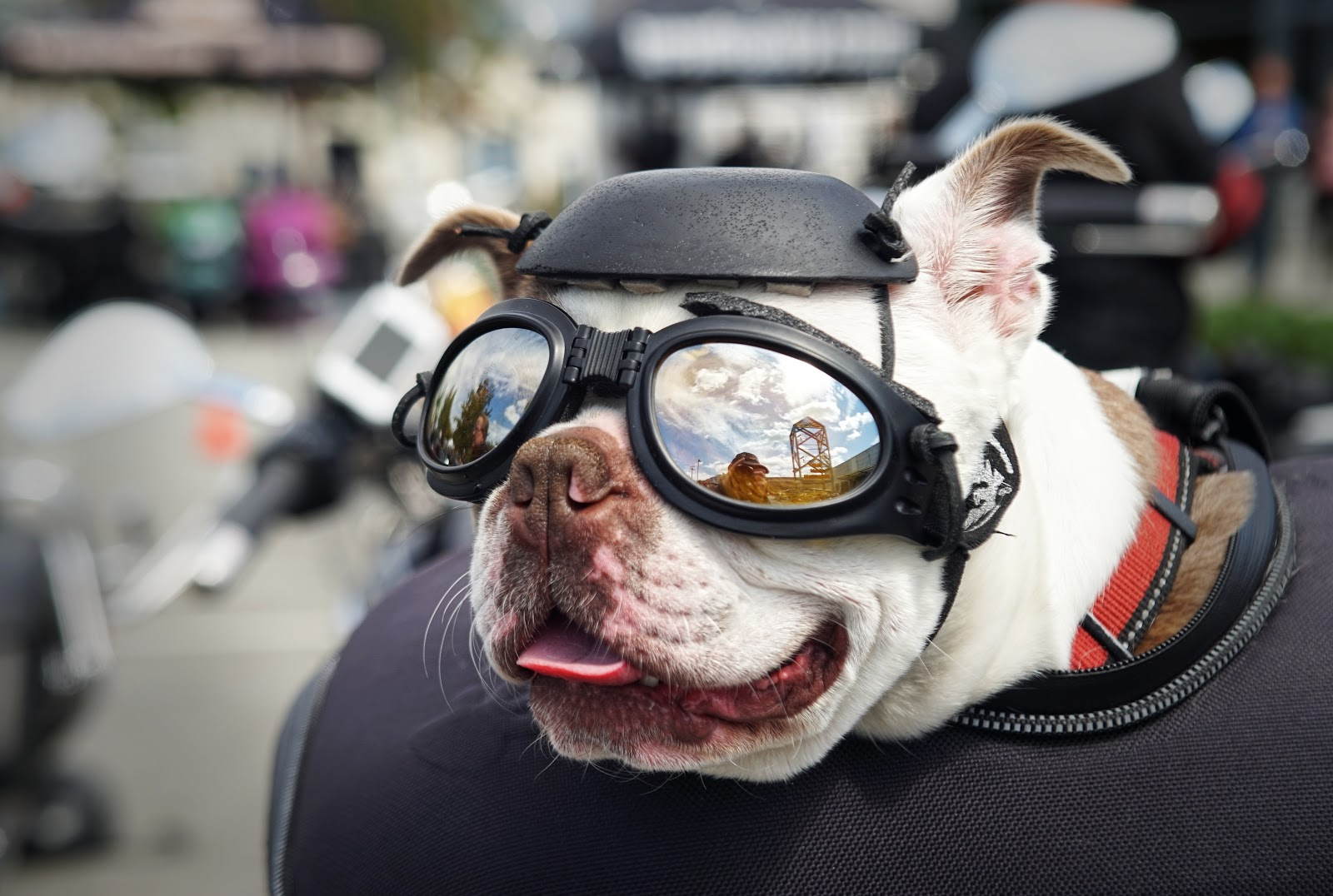 Dog wearing goggles
