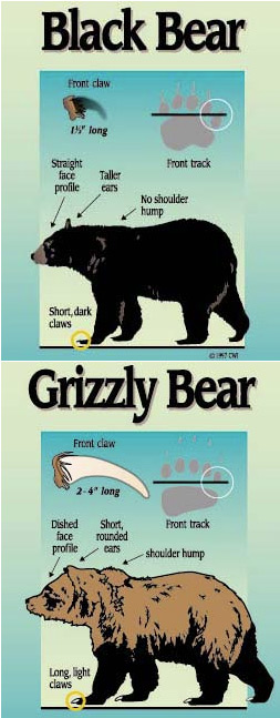 bear-differences.jpg
