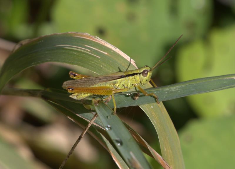 leek grasshopper_rsz.jpg
