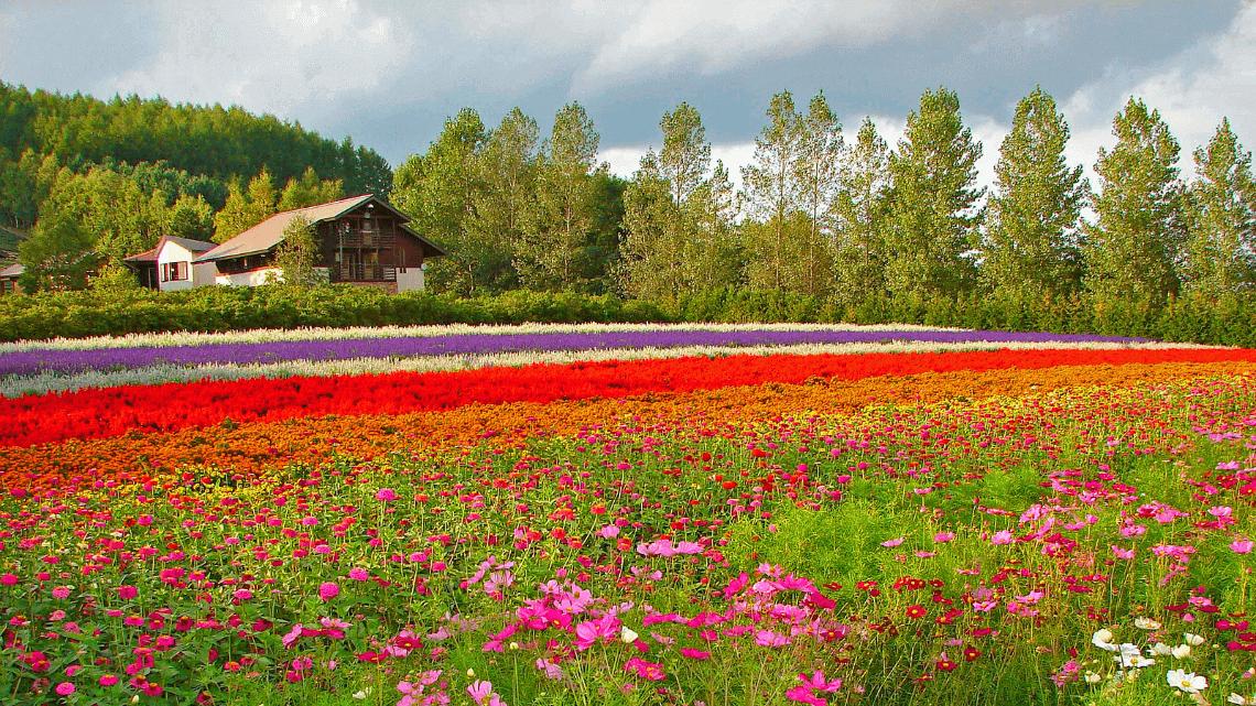 Farm Tomita's flower fields in Furano, Hokkaido, Japan