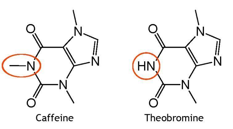 caffeine theobromine