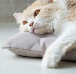 How to diagnose congestive heart failure in cats