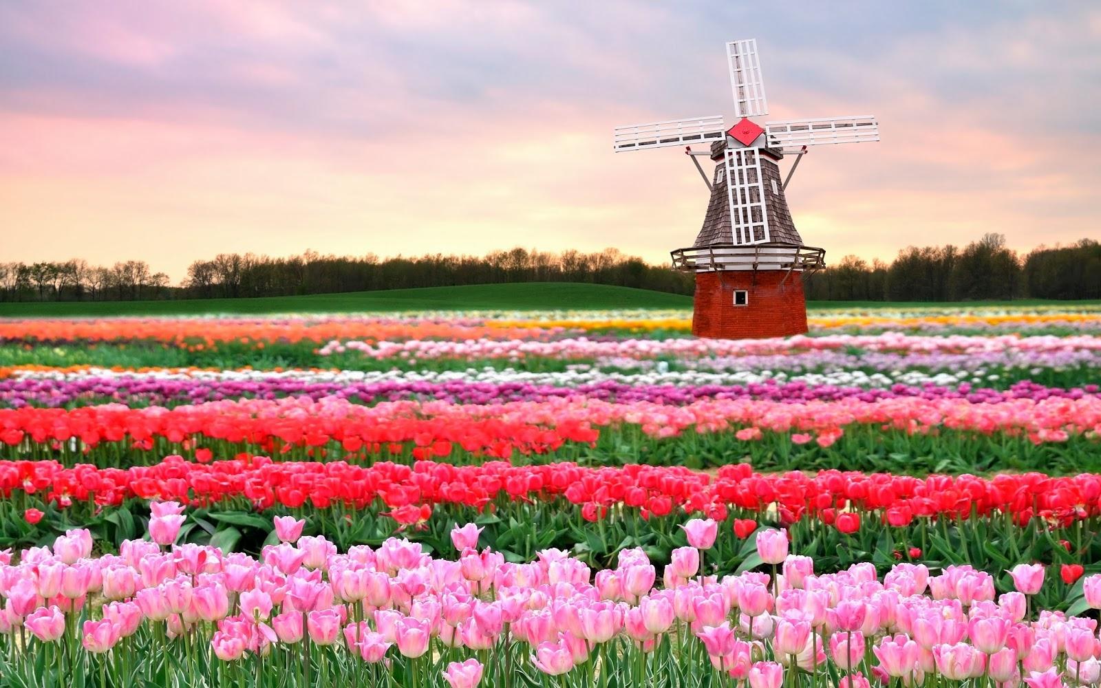 Парк тюльпанов Кекенхоф в Амстердаме
