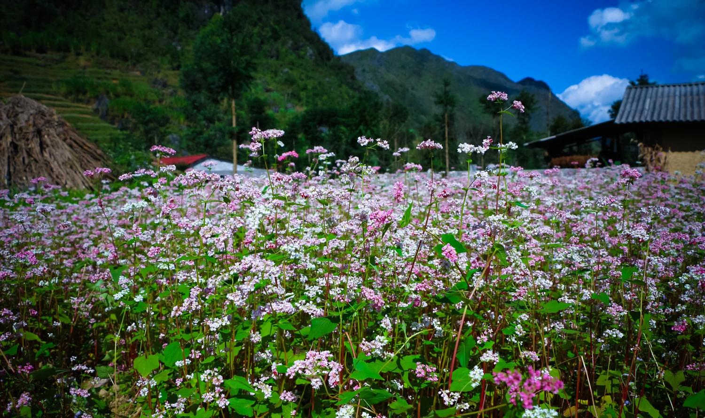 Tháng 11 - tam giác mạch nhuộm hồng xứ Hà Giang - ảnh 8