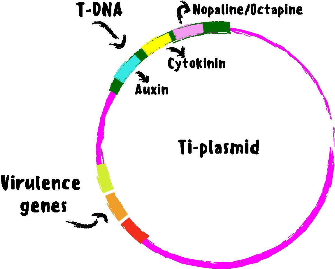 labeled Ti plasmid with T-DNA region, nopaline / octapine region, and virulence gene region