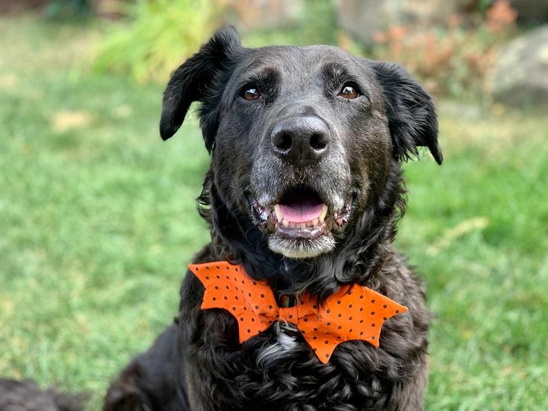 Dog in a orange Halloween bowtie