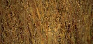 Image result for lioness hiding in the Grass