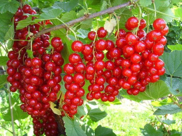 Грозди спелых ягода смородины Сахарная