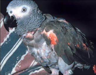 Unusual red colors in an African grey due Hypovitaminosis A and dietary deficiencies.
