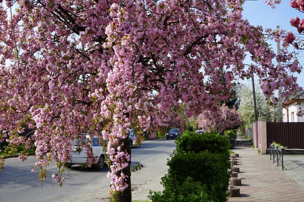 Uzhhorod Cherry Blossom Festival