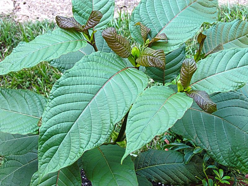 Kratom leaves in nature.