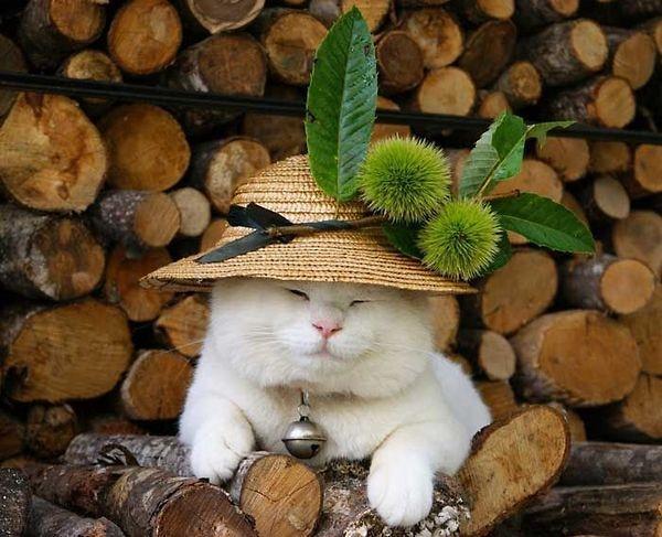 Image result for mèo Nhật Bản